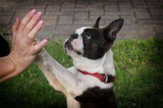 Highfive med fransk bulldog