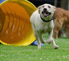 På dette hold er der opbygget en bane med forskellige poster, med agility og lydighedsøvelser. Vi starter med opvarmning og banen gennemføres i et roligt tempo´, hvor kontrol og sikkerhed er i fokus. Her glæder det ikke om at hoppe højt og løbe hurtigt, men om at hunden går igennem banen, hvis den har lyst til at lege.