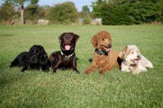 Fire hunde på stribe